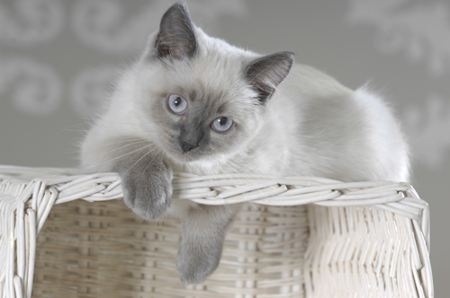 British Shorthair Mix